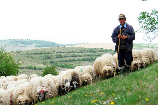 Imagini pentru pesta ovina
