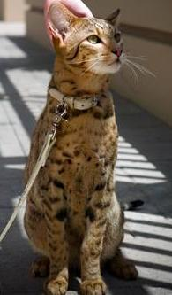 Pisică de 22.000 de dolari!