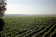 Producţia Murfatlar creşte la 30 de milioane de litri de vin în acest an