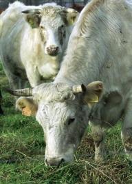 Boc a mai găsit 160 de milioane de lei pentru vaci