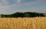 Preţul grâului a atins cel mai ridicat nivel din ultimii doi ani