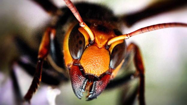 Pericol în Marea Britanie! Este invazie de insecte. Înțepătura poate fi mortală