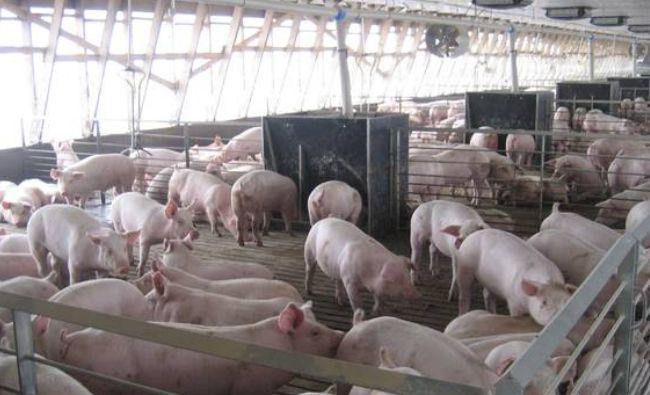 România cere deblocarea exportului de porci în spațiul comunitar