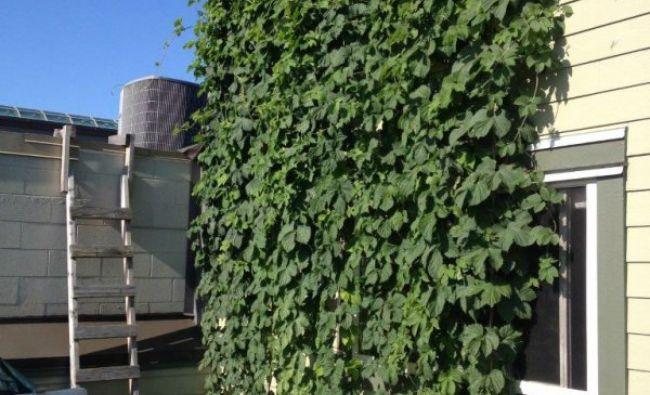 O capitală europeană cultivă hamei pentru bere pe zidurile clădirilor. Nu e nici din Cehia și nici din Germania