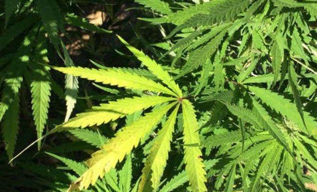 Se legalizează cannabisul în România? Ce boli pot fi tratate cu această plantă