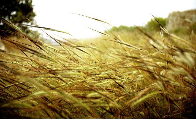 Exporturile de grâu din regiunea Mării Negre ar putea creşte cu 12%